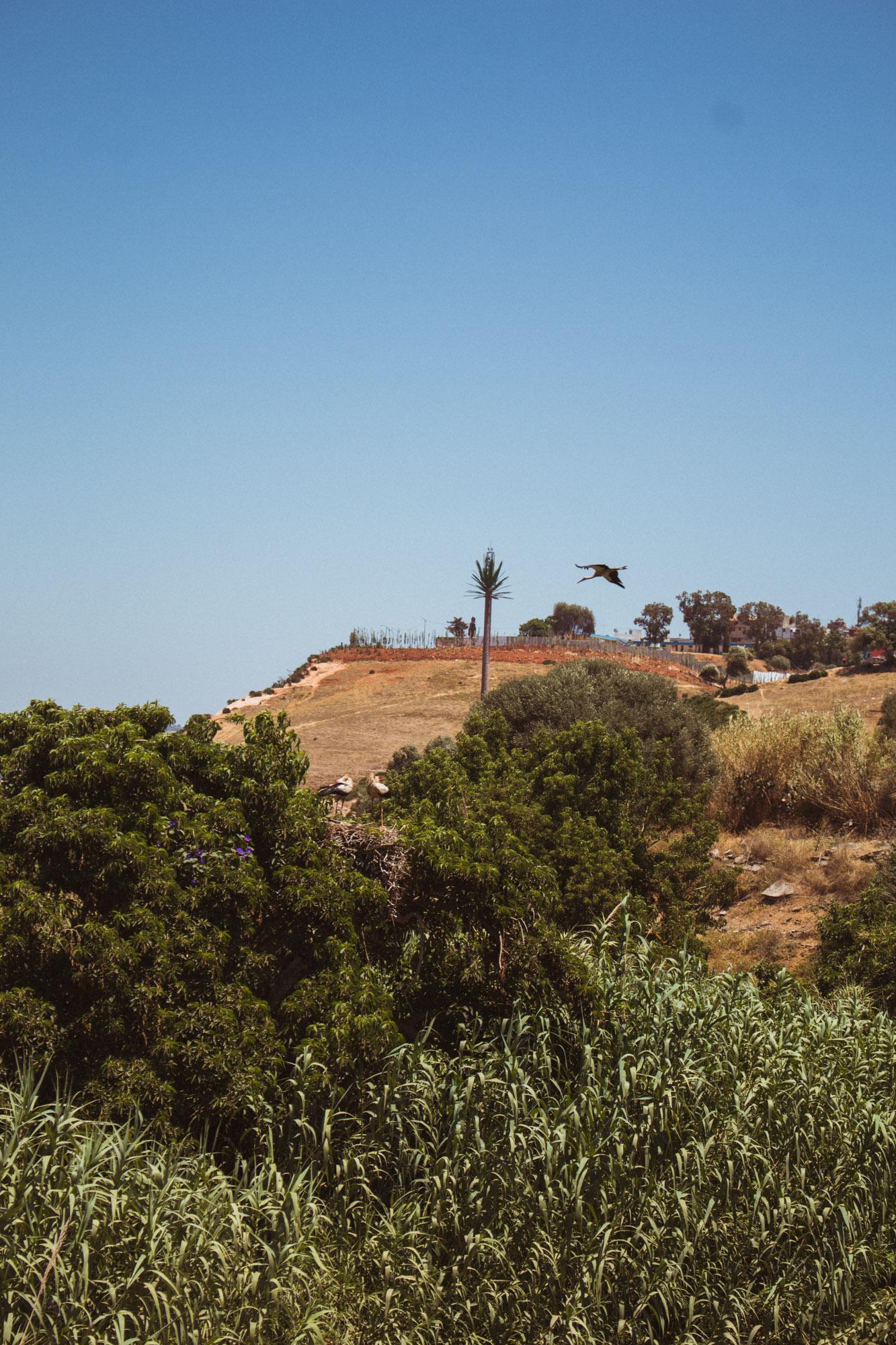 Ein Storchennest in Rabat, Marokko