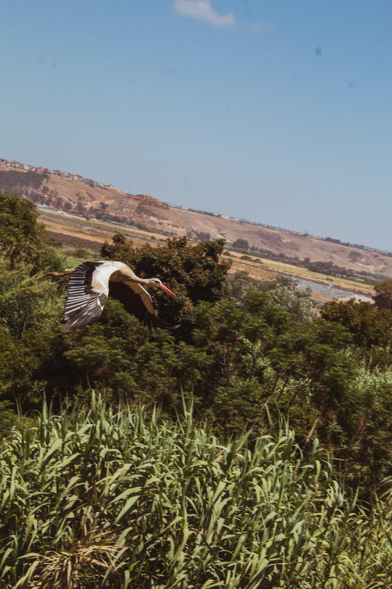 Ein Storch in Rabat, Marokko