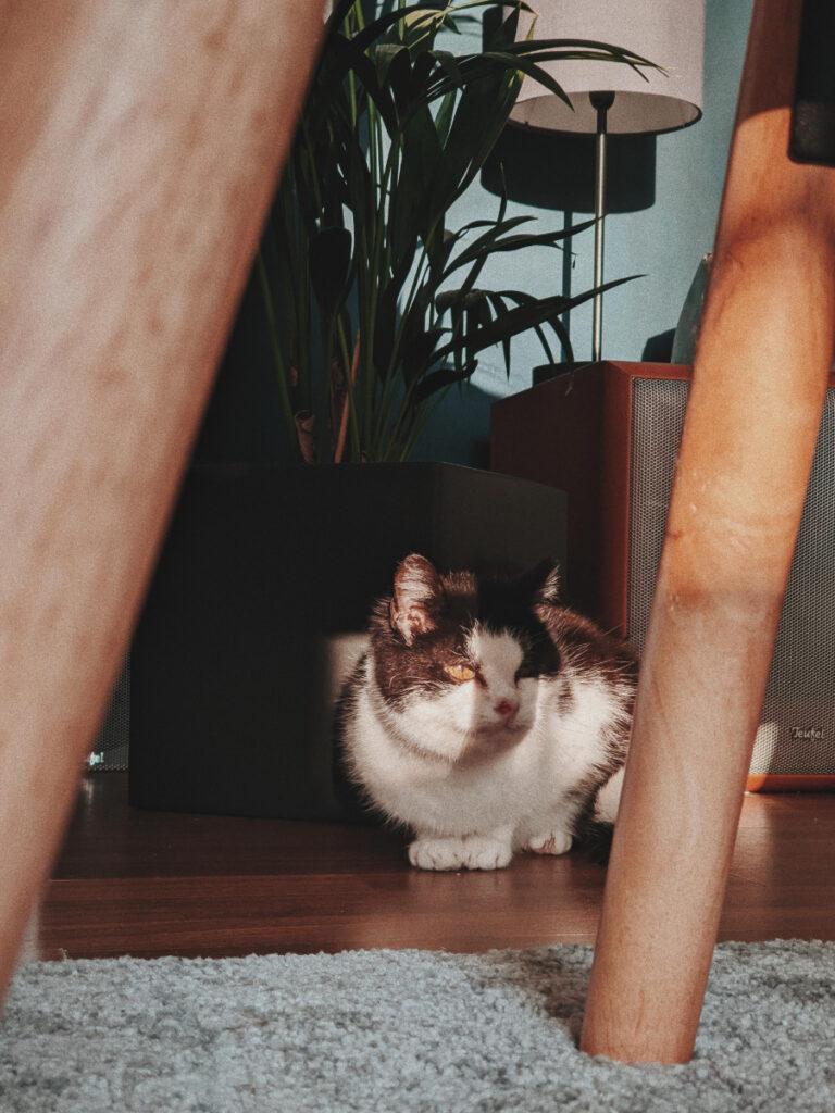 Alte Katze aus dem hamburger Tierheim Süderstraße